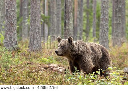 Large Wild Mammal, Brown Bear, Ursus Arctos In Coniferous Forest In Finland, Northern Europe