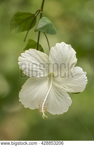 Single Pure White Flower Of Chinese Hibiscus (hibiscus Rosa-sinensis) On Green Background