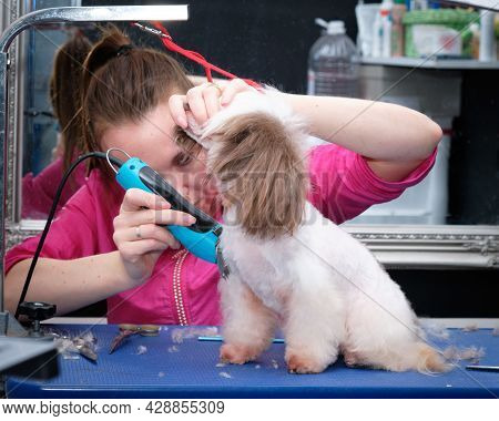A Female Groomer Shaves The Hair Of A Chinese Crested Dog In An Animal Salon.