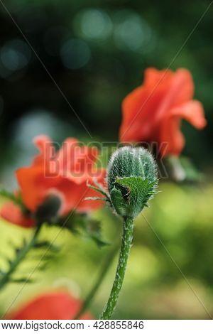Oriental Poppy Bud. Oriental Poppy Flower. Papaver Orientale Is Magnificent Perennial Plant In The G