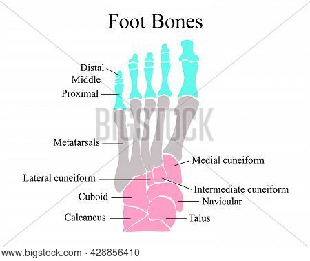 Anatomical Structure Of The Bones Of The Foot. Vector Illustration.