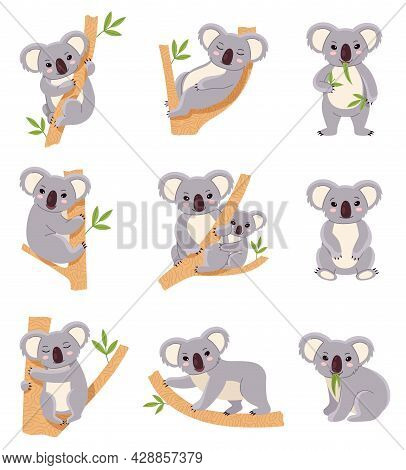 Cute Koala. Funny Australia Animals Collection, Fluffy Gray Mini Bear In Different Poses, Mom And Ba