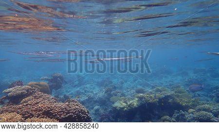 Red Sea Houndfish (tylosurus Choram) Undersea, Red Sea, Egypt, Sharm El Sheikh, Nabq Bay