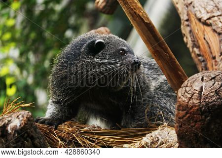 The Binturong, Also Known As Bearcat, Is A Viverrid Native To South And Southeast Asia.similar Speci