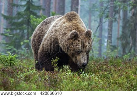 Very Large Wild Mammal, Brown Bear, Ursus Arctos Walking In Coniferous Forest On A Foggy Morning In