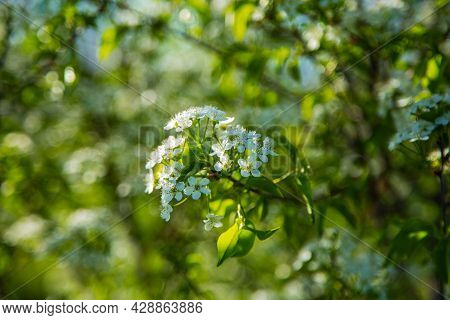 A Cherry Branch Strewn With Flowers On A Blurry Background
