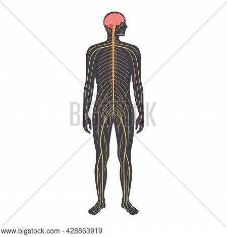Human Nervous System, In Male Silhouette. Network Of Nerves Cns And Pns Systems. Cerebellum, Brain A