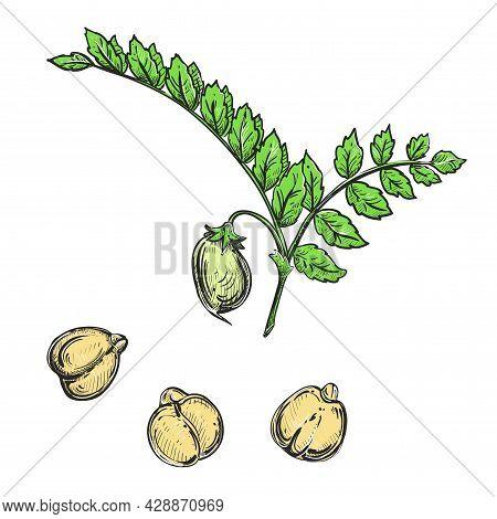 Hand Drawn Sketch Black And Color Of Plant, Branch Chickpea, Nut, Leaf, Seeds. Vector Illustration.