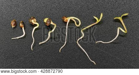 timelapse of hemp seed germination on a black background