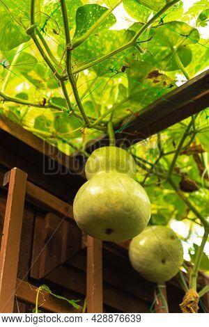 Group Of Birdhouse Gourds Hanging Near Wooden Fence At Organic Backyard Garden Near Dallas, Texas, U