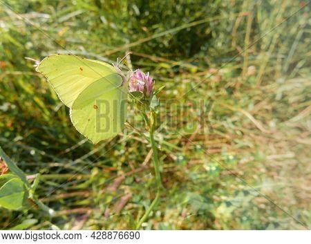 Lemongrass Butterfly On Pink Clover Flower On Blurred Summer Background
