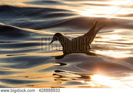 Seagull Silhouette On The Sea Or Ocean Waves. Ecological Concept.