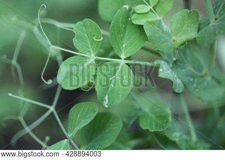Green Peas . Organic Farm Peas. Fresh Bio Green Vegetables.green Peas On Blurred Vegetable Garden Ba