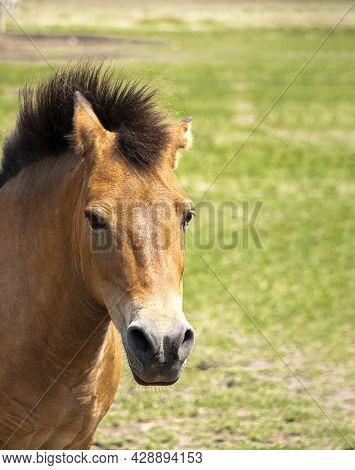 Portrait Of Przhivalskys Wild Horse. Head Close-up. Raised Mane.