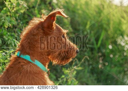 Gorgeous Beautiful Purebred Young Serious Obedient Hunting Dog Puppy Irish Terrier Breed Sits On The