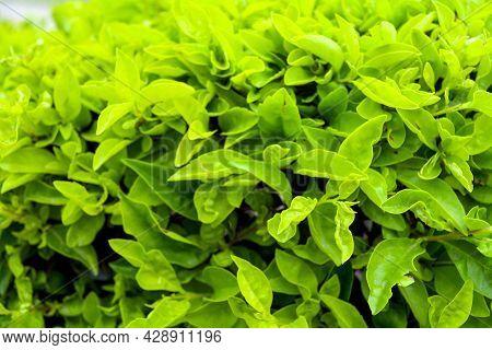 Duranta Repens Or Duranta Erecta Leaves Closeup Texture Background, Common Names Include Golden Dewd