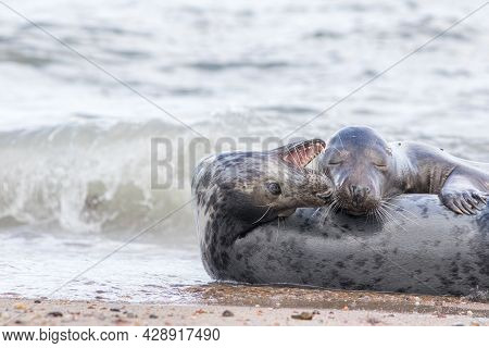 Best Friends. Two Seals Together On The Beach. Animal Affection. Couple Of Contented Grey Seals Happ