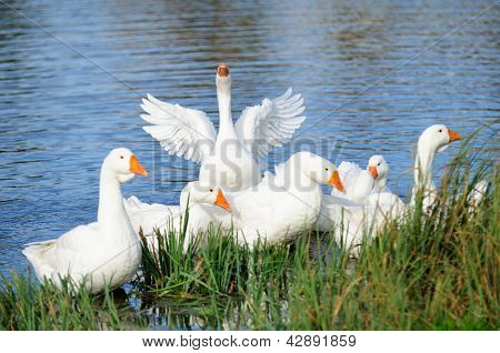 White domestic geese swimming in the lake by the shore with one goose flapping its wings poster