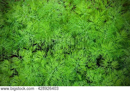 Fresh Dill (anethum Graveolens) Growing On The Vegetable Bed. Annual Herb, Family Apiaceae.  Growing