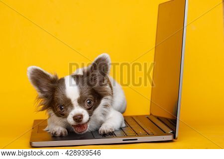 Portraite Of Cute Puppy Chihuahua. Little Smiling Dog Sitting On Laptop On Bright Trendy Yellow Back