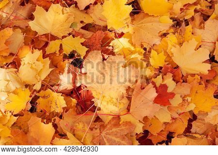 Bright Colorful Autumn Maple Leaves On The Ground. Autumn Yellow, Orange And Red Leaves Are Scattere