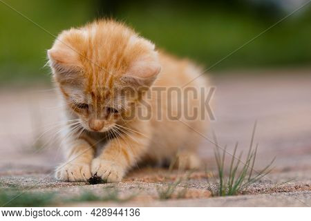 Cute Little Red Kitten Playing Outdoors. Portrait Of A Red Kitten In The Garden. Tabby Funny Red Kit