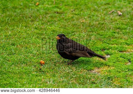 The Common Blackbird Turdus Merula Is A Species Of True Thrush. It Is Also Called The Eurasian Black