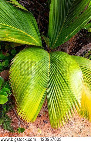 Lantannyen Fey (phoenicophorium Borsigianum, Latanier Palm) Palm Leaves, Endemic Seychelles Species,