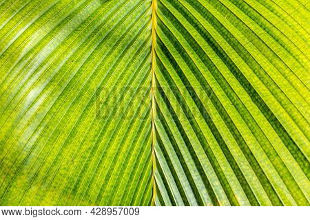 Lantannyen Fey (phoenicophorium Borsigianum, Latanier Palm) Palm Leaf Close-up Symmetrical View, End