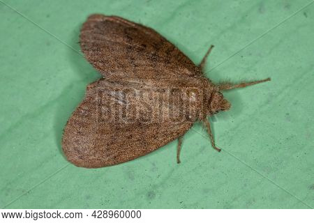 Small Adult Moth