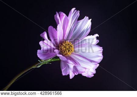 Mysterious Cosmos Flower In The Moonlight. Magic Of The Night