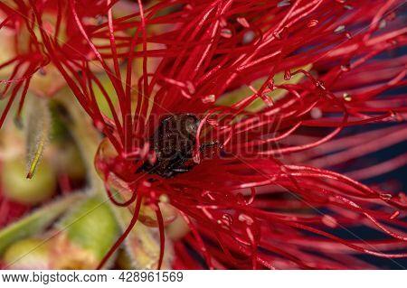 Adult Female Stingless Bee Of The Genus Trigona Pollinating Bottle Brush Flowers