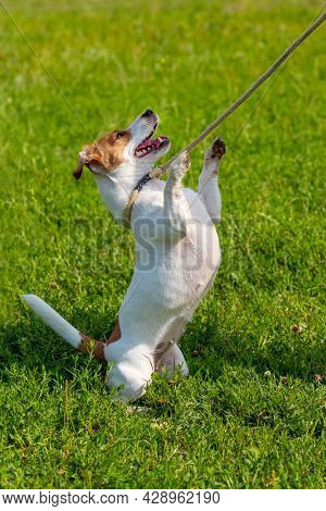 A Small Dog Breed Parson-russell Terrier On A Leash Stands On Its Hind Legs. Dog In The Park During