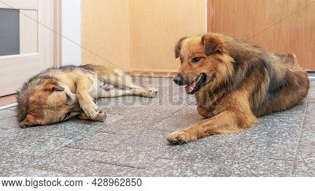 Two Dogs Lie In A Room On The Floor Opposite Each Other. Funny Animals