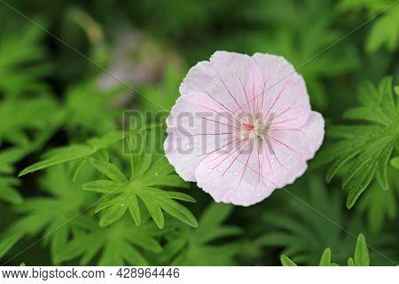 Pink Bloody Cranesbill, Geranium Sanguineum Variety Striatum Splendens, Flower Close Up With Raindro