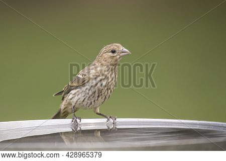 A Cute Little Song Sparrow Is Perched On The Edge Of A Bird Bath In North Idaho.