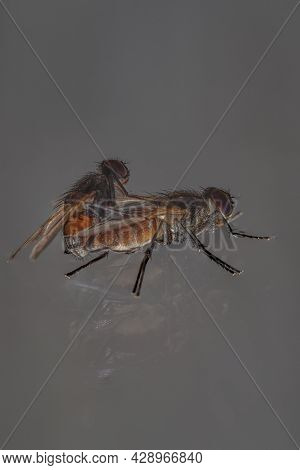 Housefly Mating, Close-up Of Flies Mating On Railing