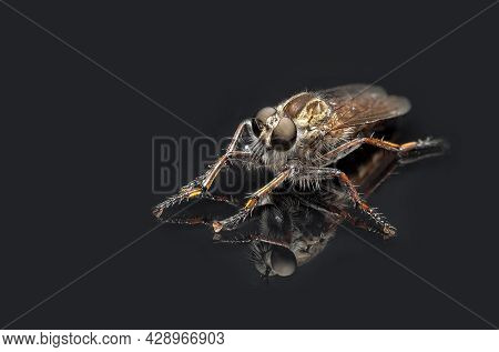 Predatory Fly On A Black Background With Reflection, Robber Fly Ruthless Winged Hunter For Small Ins