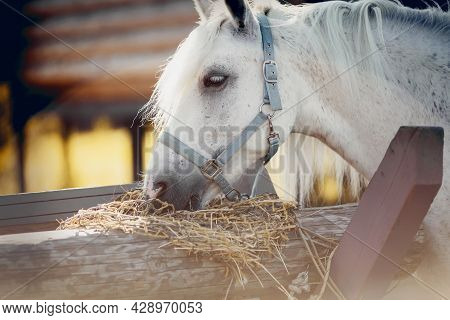 Portrait Of A Grey Horse In A Blue Halter, Which Eats Hay.  Horse Muzzle Close Up. A Gray Sports Sta