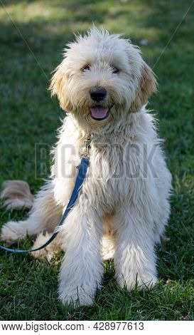 7-month-old Female Double Doodle Puppy, A Hybrid Combination Of Three Breeds: Golden Retrievers, Poo