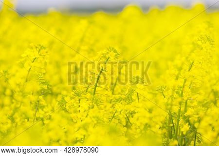 Rapeseed Flowers Close-up. Rapeseed Field. Bright Yellow Field. Yellow Spring Flowers On Blue Sky Ba