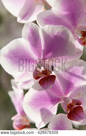 Pink Orchid Flowers Of Phalaenopsis Orchidaceae Moth Orchids Closeup, Moth Orchid