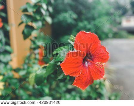 Flower Hibiscus Rosa-sinensis (chinese Hibiscus, China Rose, Hawaiian Hibiscus, Rose Mallow, Shoebla
