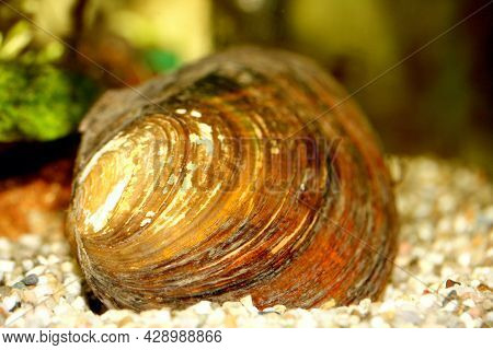The Mussel (anodontinae) A Mollusk Living At The Bottom Of The Pond