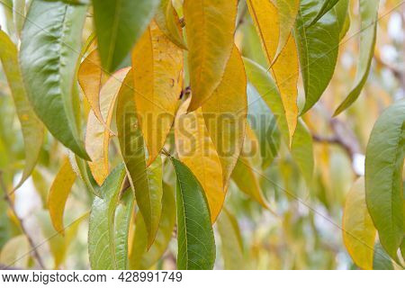 Yellow And Green Nectarine Leaves In Autumn Season.