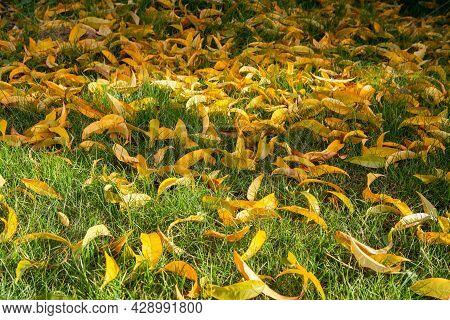 Yellow Nectarine Leaves On Grass In Autumn Season.
