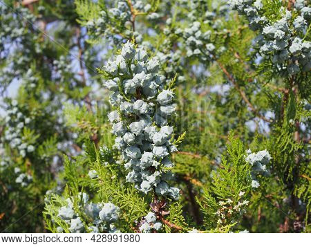 Cypress Branch With Blue Green Seeds Close Up. Bald Cypress Tree Seeds Pods. Fragment Of Decorative