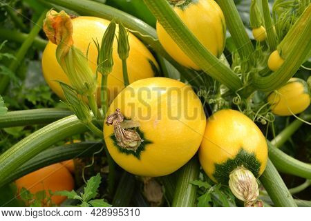 On The Bed Between The Leaves There Are A Lot Of Fresh Zucchini Of A Yellow Round Variety With A Gre