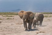 elephant's family amboseli national park kenya africa poster