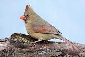 Female Northern Cardinal (cardinalis cardinalis) on a log poster